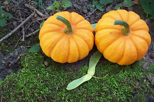 Pumpkins and seed