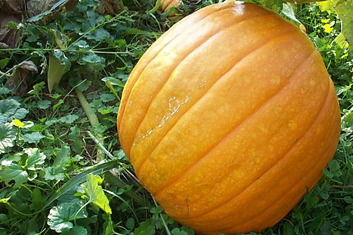 Big pumpkin 1