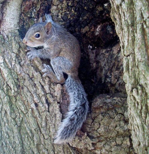 Squirrel in treehole