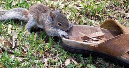 Squirrel with shoe