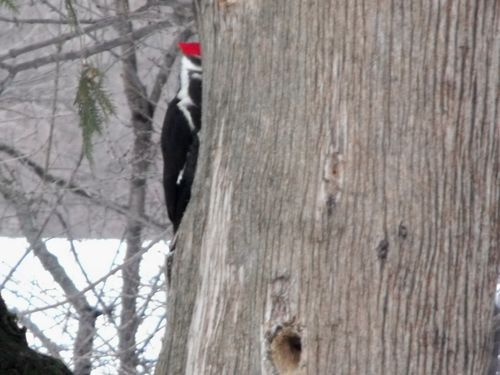Woodpecker peeking
