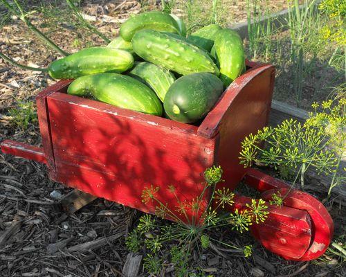 Cucumbers in wheelbarrow