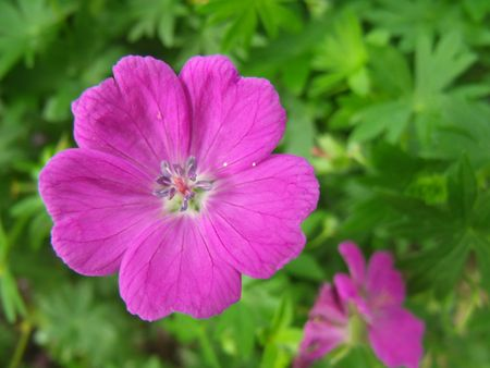 Herbs geranium