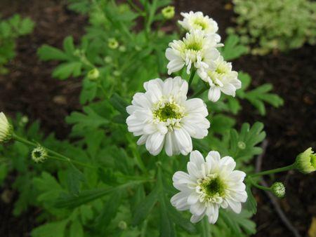 Herbs feverfew